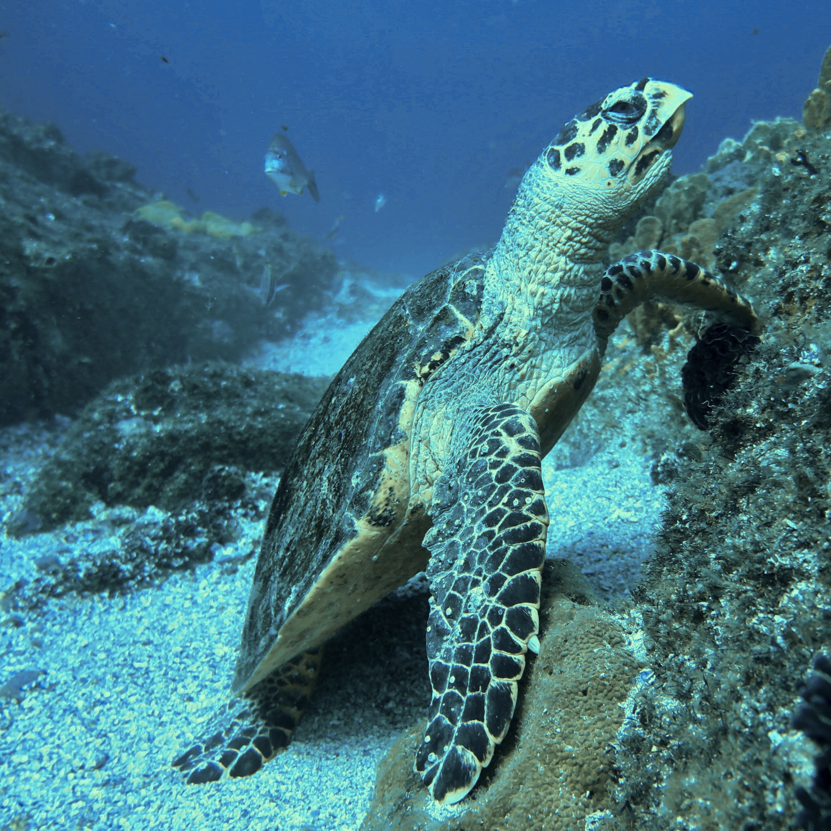 Help Conserve Hawksbill Turtle Populations