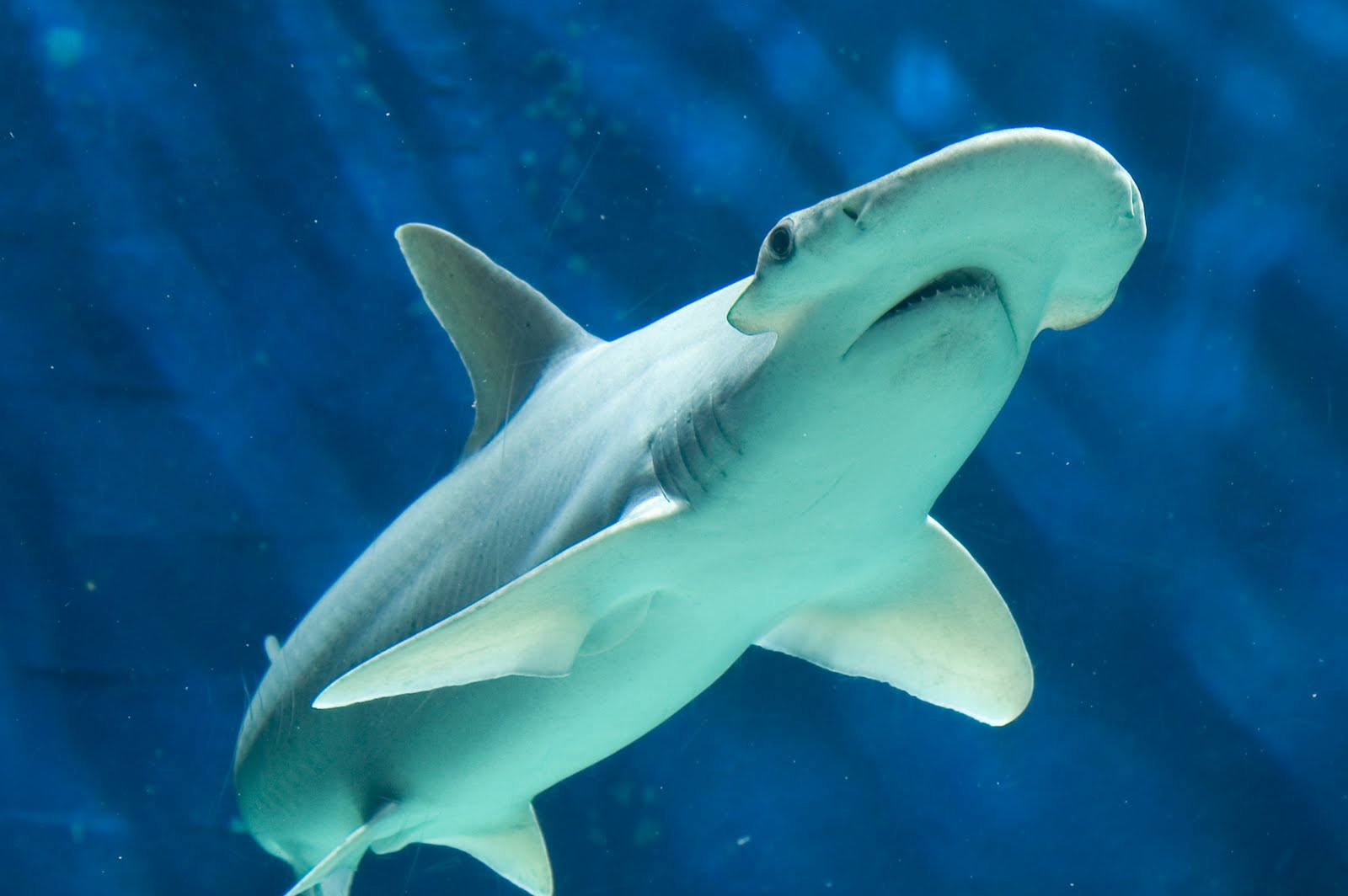 Bonnethead Sharks... Are Omnivores!