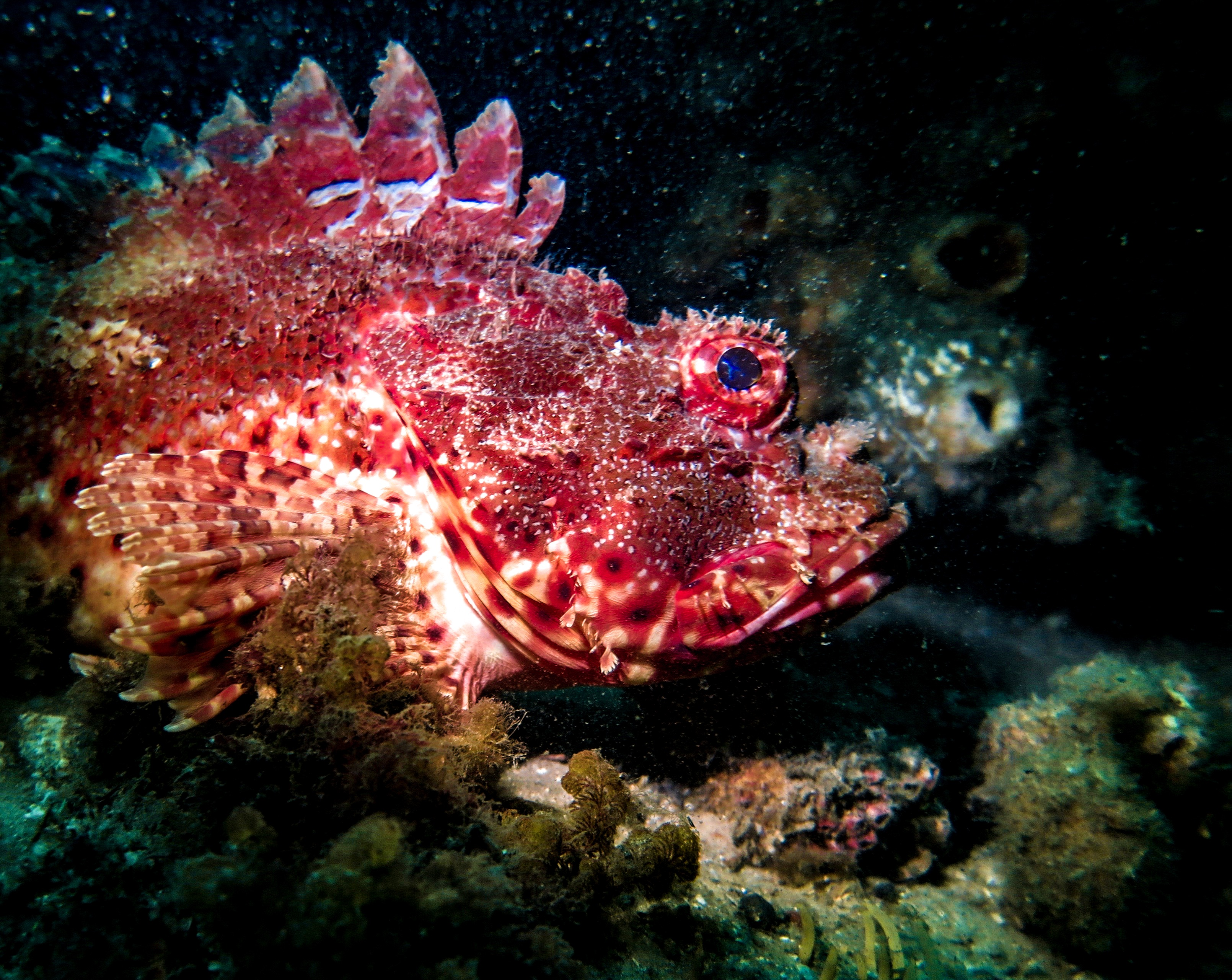 The Magnificent Eastern Red Scorpionfish